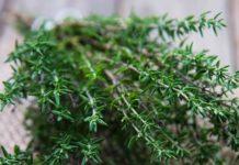 buchet de cimbru verde