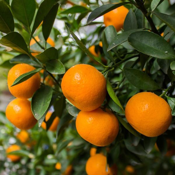 mandarine in copac