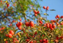 macese fructe