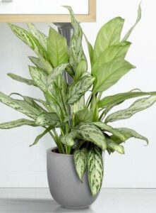 Aglaonema in ghiveci