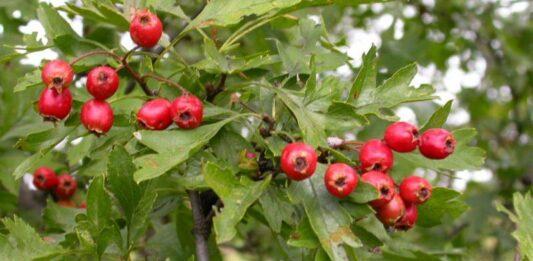 Păducel, plantă cu fructe