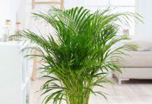palmier areca - plante care purifica aerul