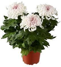 crizantema plante care purifica aerul