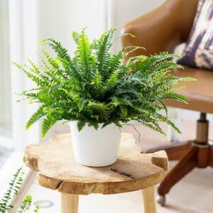 feriga sabie plante care purifica aerul