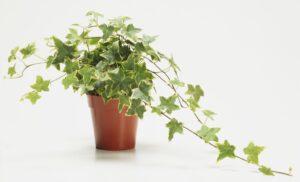 iedera plante care purifica aerul