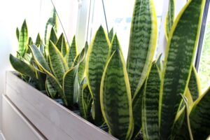 limba soacrei plante care purifica aerul