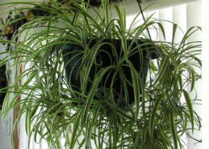Voalul miresei planta in ghiveci suspendat